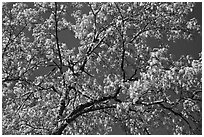 Branches with spring leaves against sky. Yosemite National Park ( black and white)