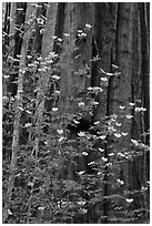 Dogwood flowers and trunk of sequoia tree, Tuolumne Grove. Yosemite National Park, California, USA. (black and white)