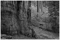 Base of giant sequoia, pines, and dogwoods, Tuolumne Grove. Yosemite National Park, California, USA. (black and white)