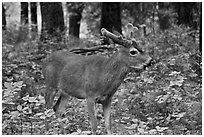 Young bull deer in forest. Yosemite National Park, California, USA. (black and white)
