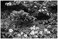 Dogwoods flowers and leaves. Yosemite National Park, California, USA. (black and white)