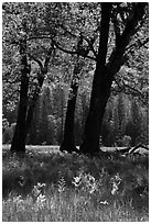 Oak trees in spring, El Capitan Meadow. Yosemite National Park, California, USA. (black and white)