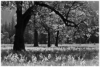 Ferns and oak trees in spring, El Capitan Meadow. Yosemite National Park ( black and white)