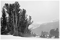 Trees in storm with blowing snow, Tioga Pass. Yosemite National Park ( black and white)