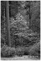 Forest with dogwood tree in bloom. Yosemite National Park ( black and white)