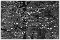 Flowering dogwood tree. Yosemite National Park ( black and white)