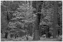 Forest in the spring. Yosemite National Park ( black and white)