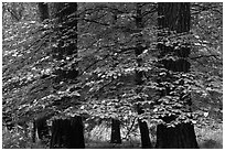 Dogwood tree between two dark pine tree trunks. Yosemite National Park ( black and white)