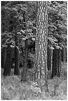 Ponderosa Pine and forest. Yosemite National Park ( black and white)