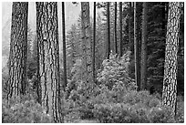 Forest with fall pine trees and spring undergrowth. Yosemite National Park ( black and white)