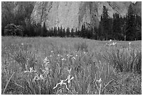Iris and Cathedral Rocks, El Capitan Meadow. Yosemite National Park, California, USA. (black and white)