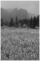 Wildflowers in Cook Meadow and Cathedral Rocks in storm. Yosemite National Park, California, USA. (black and white)