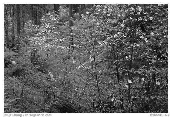 Forest in spring with fallen trees, and flowering dogwoods. Yosemite National Park (black and white)