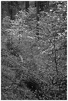 Ravine in spring with blooming dogwoods near Crane Flat. Yosemite National Park, California, USA. (black and white)