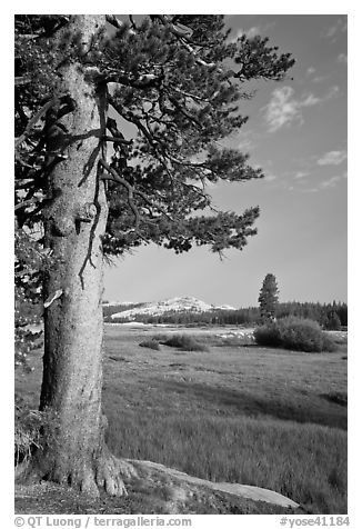 Pine tree in meadow, Tuolumne Meadows. Yosemite National Park (black and white)