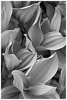 Corn lilly leaves. Yosemite National Park ( black and white)