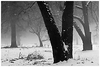 Black oaks, snow, and fog, El Capitan Meadow. Yosemite National Park ( black and white)