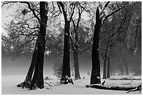 Group of oaks in El Capitan Meadow with winter fog. Yosemite National Park ( black and white)