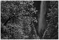 Bridalveil Fall framed by snowy trees with new leaves. Yosemite National Park ( black and white)