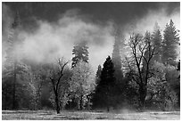Fog lifting above trees in spring. Yosemite National Park, California, USA. (black and white)