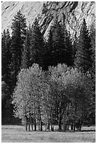 Aspens in Ahwanhee Meadows in spring. Yosemite National Park, California, USA. (black and white)
