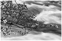 Dogwood branch and Merced River rapids. Yosemite National Park, California, USA. (black and white)