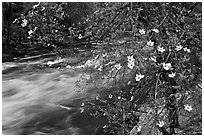 Dogwood in bloom on banks of Merced River. Yosemite National Park, California, USA. (black and white)