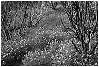 Burned manzanita and spring wildflowers. Yosemite National Park, California, USA. (black and white)