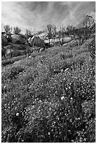 Wildflowers in burned area. Yosemite National Park, California, USA. (black and white)