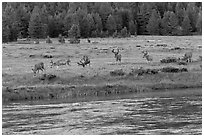 Herd of deer in meadow, Lyell Fork of the Tuolumne River. Yosemite National Park ( black and white)