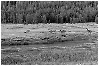 Deer herd at sunset, Lyell Canyon. Yosemite National Park, California, USA. (black and white)