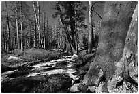 Stream in forest, Lewis Creek. Yosemite National Park ( black and white)