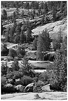 Smooth granite and pine trees. Yosemite National Park ( black and white)