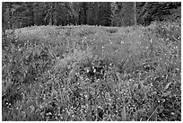 Summit Meadow with summer flowers. Yosemite National Park, California, USA. (black and white)
