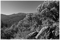 Manzanita tree on outcrop and forested hills, Wawona. Yosemite National Park, California, USA. (black and white)