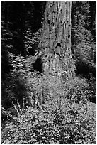 Lupine at the base of Giant Sequoia tree, Mariposa Grove. Yosemite National Park, California, USA. (black and white)