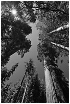 Looking up Giant Sequoia forest. Yosemite National Park, California, USA. (black and white)
