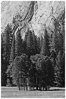 Aspen cluster and Glacier Point Apron, summer. Yosemite National Park, California, USA. (black and white)