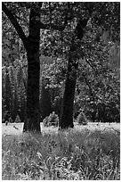 Black Oaks, El Capitan Meadow, summer. Yosemite National Park ( black and white)
