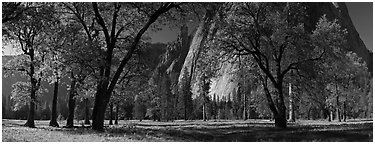 El Capitan Meadows, Black Oaks and Cathedral Rocks. Yosemite National Park (Panoramic black and white)