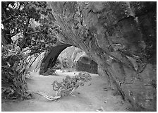 Juniper and glowing Navajo Arch, late morning. Arches National Park, Utah, USA. (black and white)