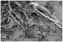 Ground close-up with wildflowers, roots, and rain marks in sand. Arches National Park, Utah, USA. (black and white)