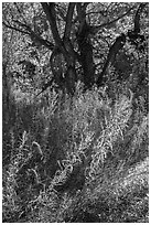 Grasses and trees in autumn, Courthouse Wash. Arches National Park ( black and white)