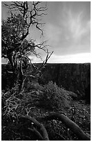 Juniper, sunset North Rim. Black Canyon of the Gunnison National Park ( black and white)