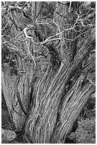 Textured juniper tree. Black Canyon of the Gunnison National Park, Colorado, USA. (black and white)