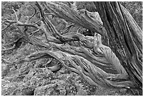 Twisted tree trunks. Black Canyon of the Gunnison National Park, Colorado, USA. (black and white)