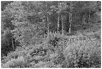Lupine and aspen trees. Black Canyon of the Gunnison National Park, Colorado, USA. (black and white)