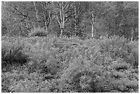 Spring flowers and forest. Black Canyon of the Gunnison National Park, Colorado, USA. (black and white)