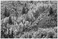 Slope with aspen in fall foliage. Black Canyon of the Gunnison National Park, Colorado, USA. (black and white)