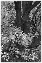 Trunk and leaves in autumn, East Portal. Black Canyon of the Gunnison National Park, Colorado, USA. (black and white)